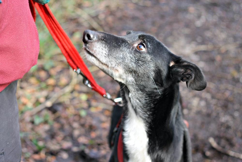 black and white short coat medium sized dog with red leash