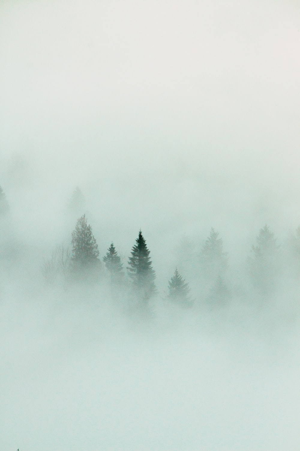 green pine trees covered with white fog