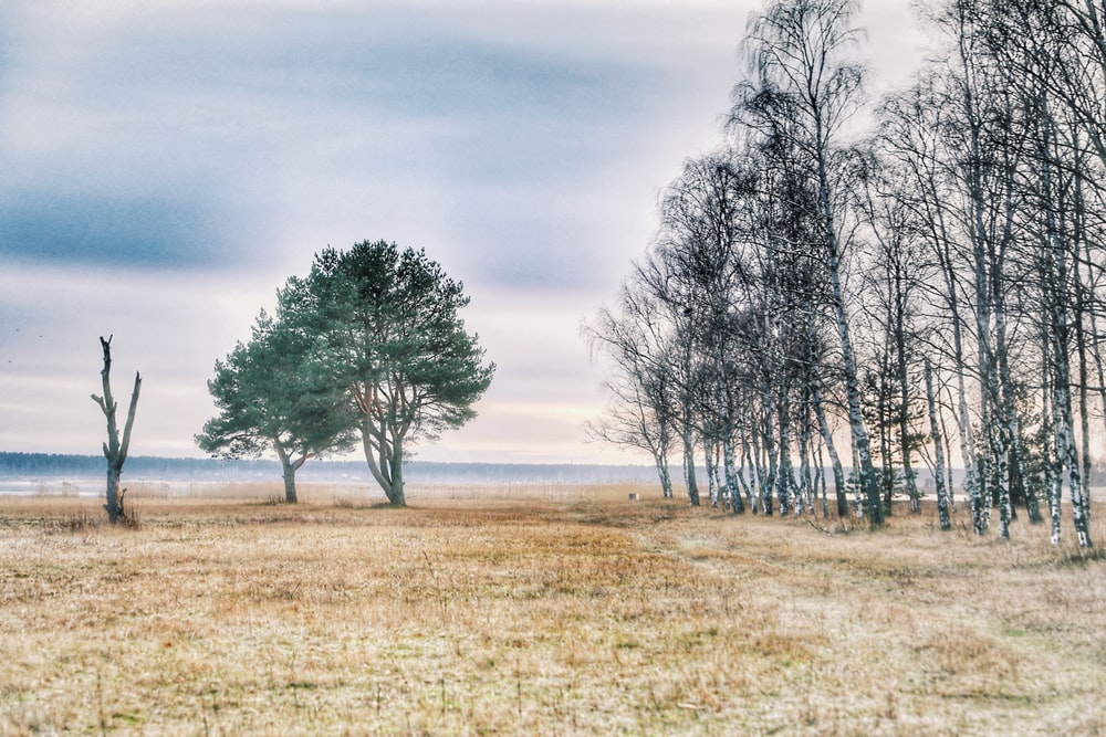 leafless tree on brown grass field under white clouds