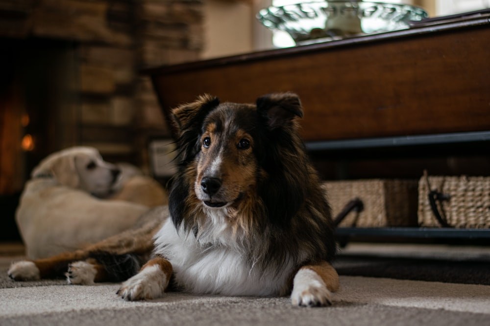 brown white and black long coated dog lying on floor