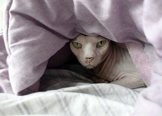 brown cat covered with purple blanket