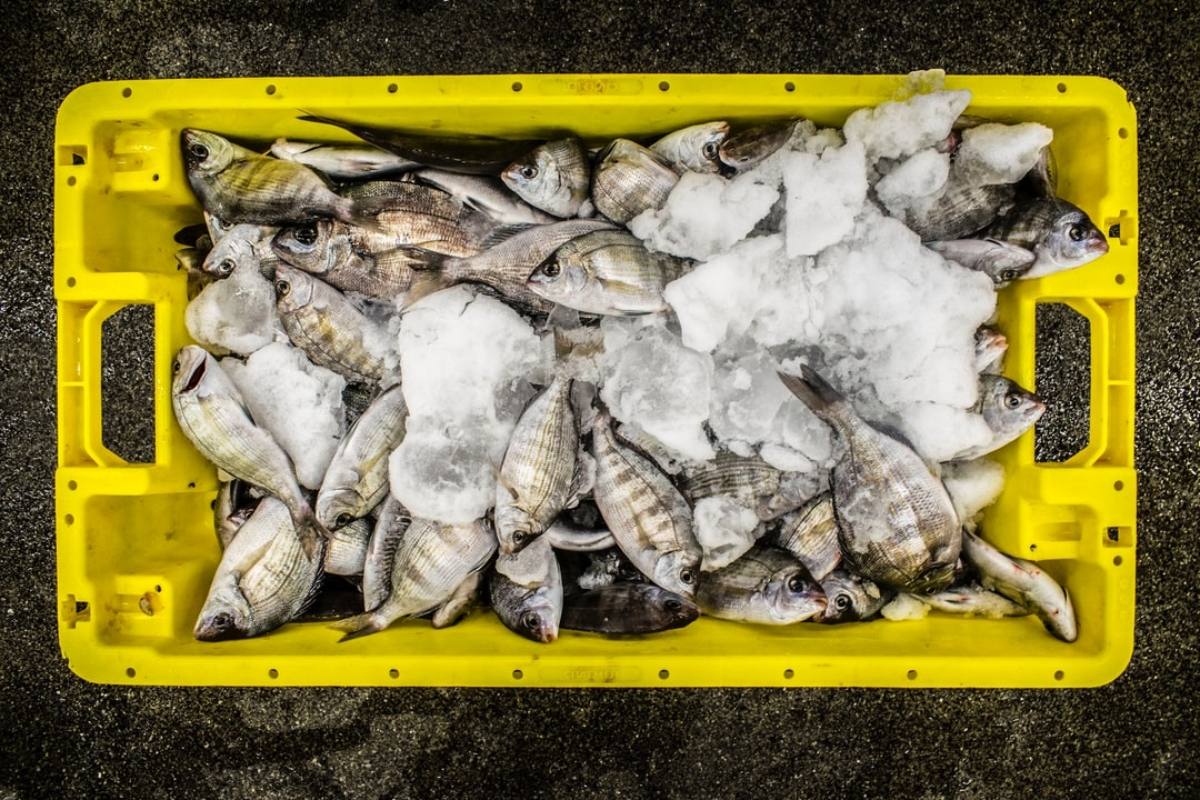 Freshly caught Dorade Grise from the English Channel | Fresh caught North Sea Fish on the fish auction of Scheveningen
