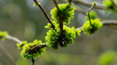 Mosses on a branch of elderberry