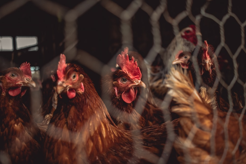 brown and red rooster in cage