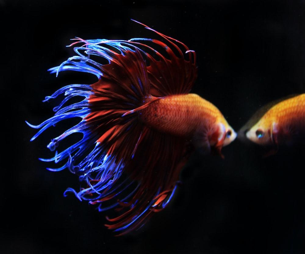 orange and purple fish in water
