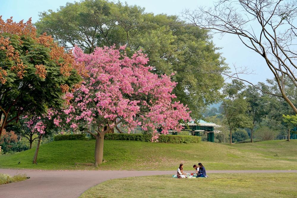 man in blue shirt sitting on bench near pink leaf tree during daytime