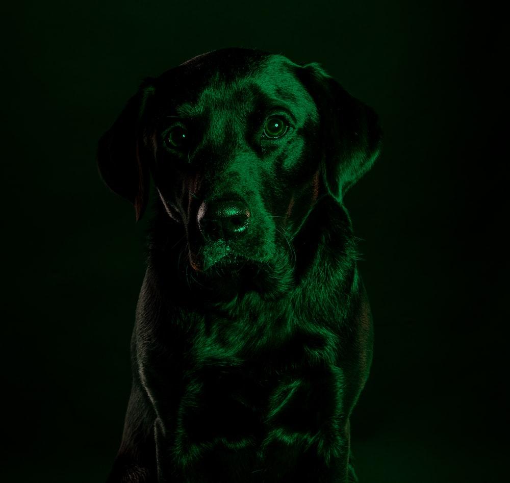 black labrador retriever puppy on grayscale photography