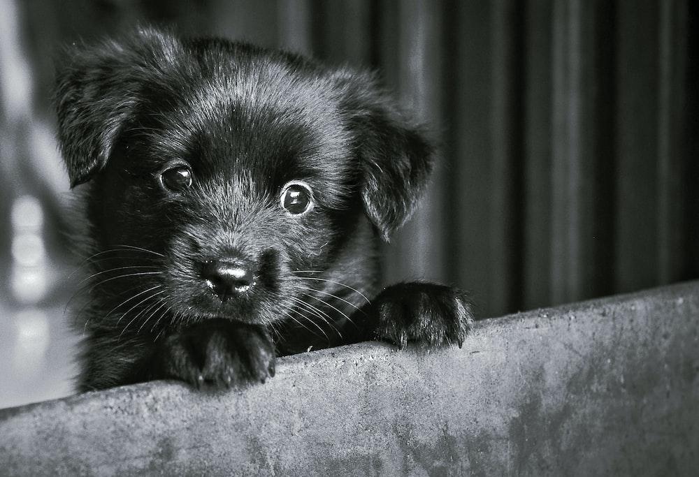 black labrador retriever puppy on black textile
