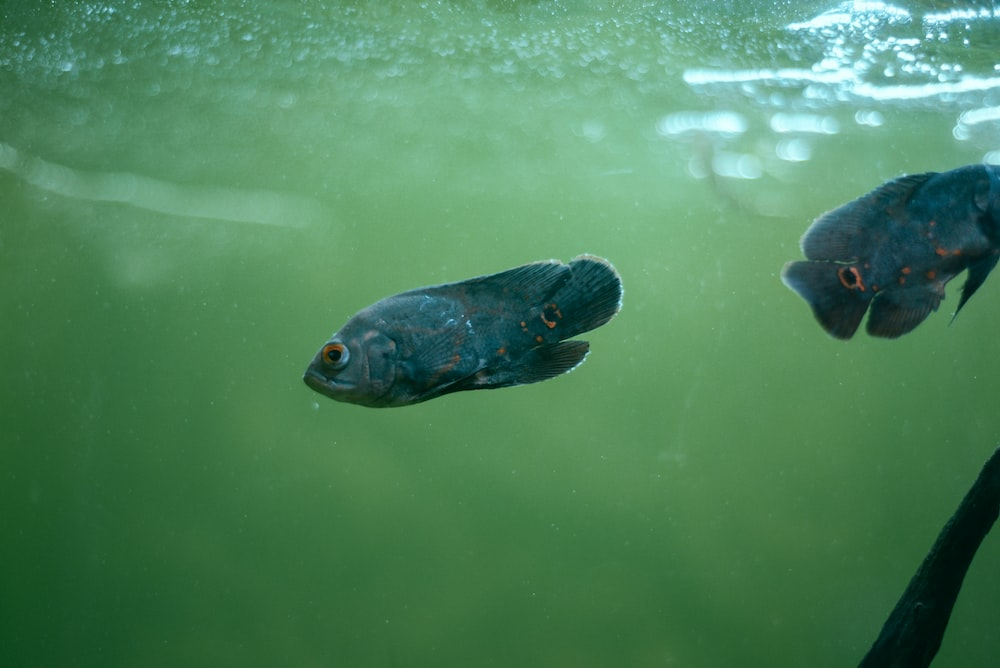 black and blue fish on water