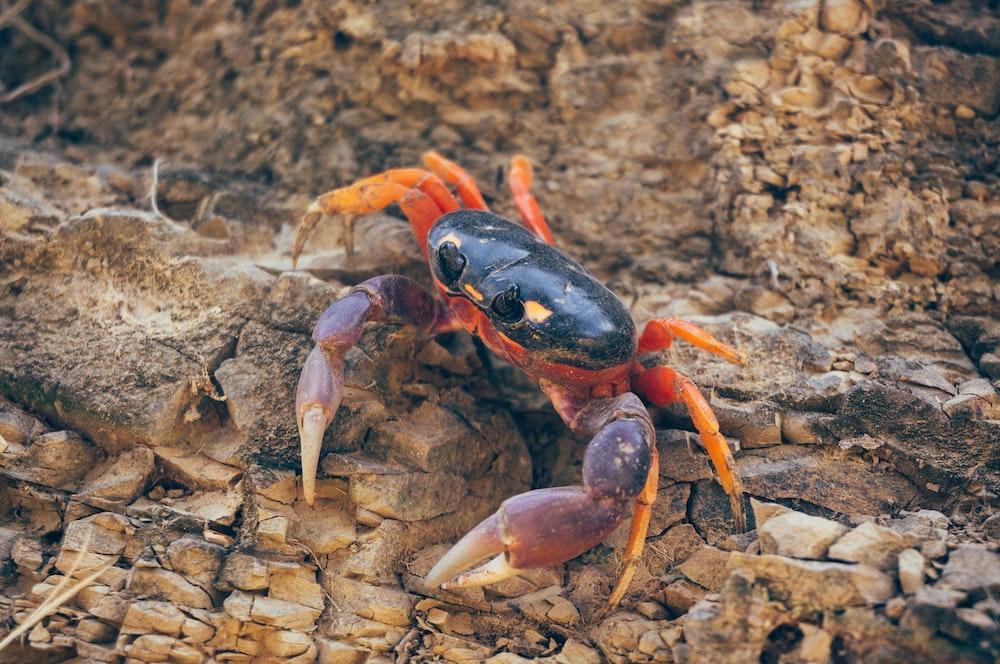 black and orange crab on brown rock
