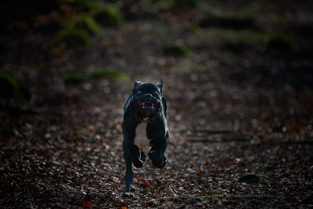 black and white short coat small dog running on brown dried leaves
