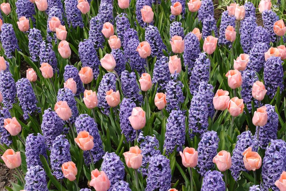orange tulips field during daytime