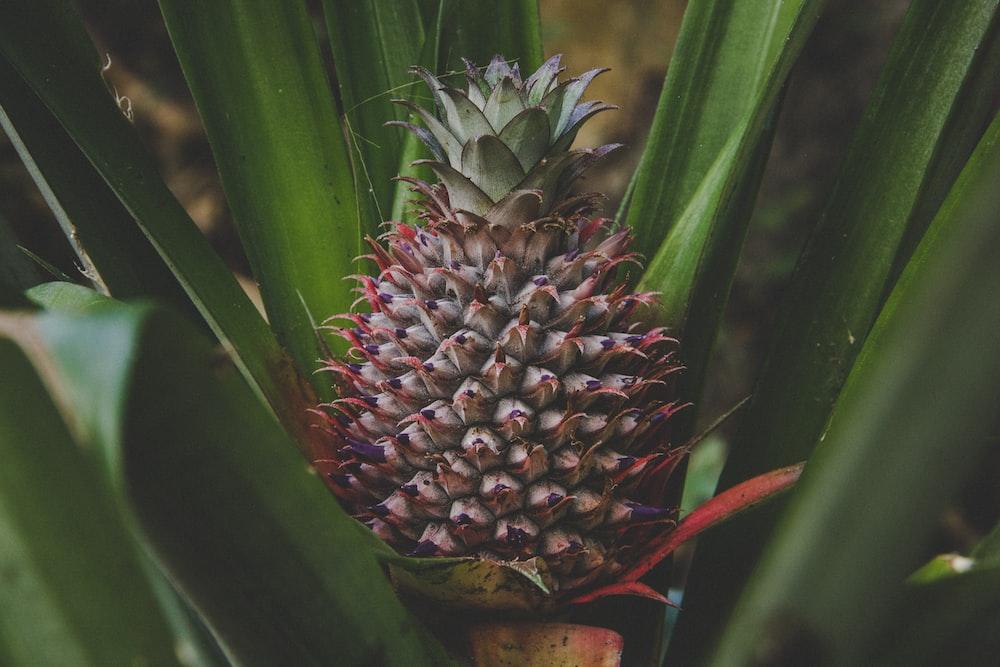 pineapple fruit on green leaves