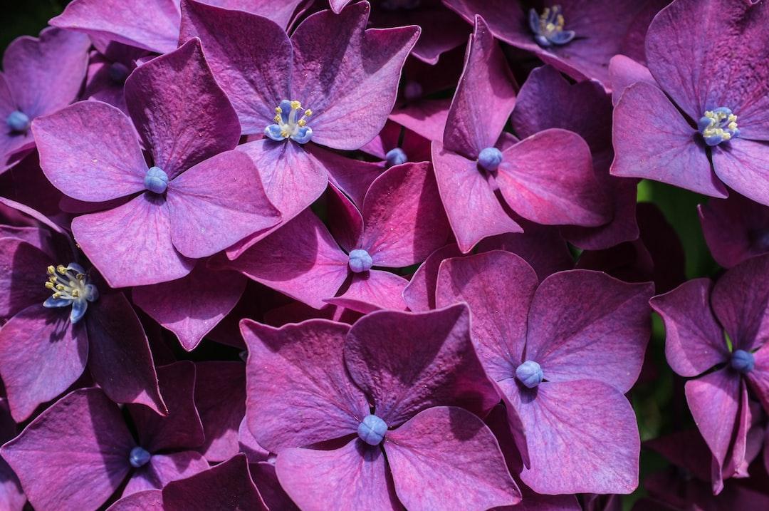Hortensia, purple, close-up