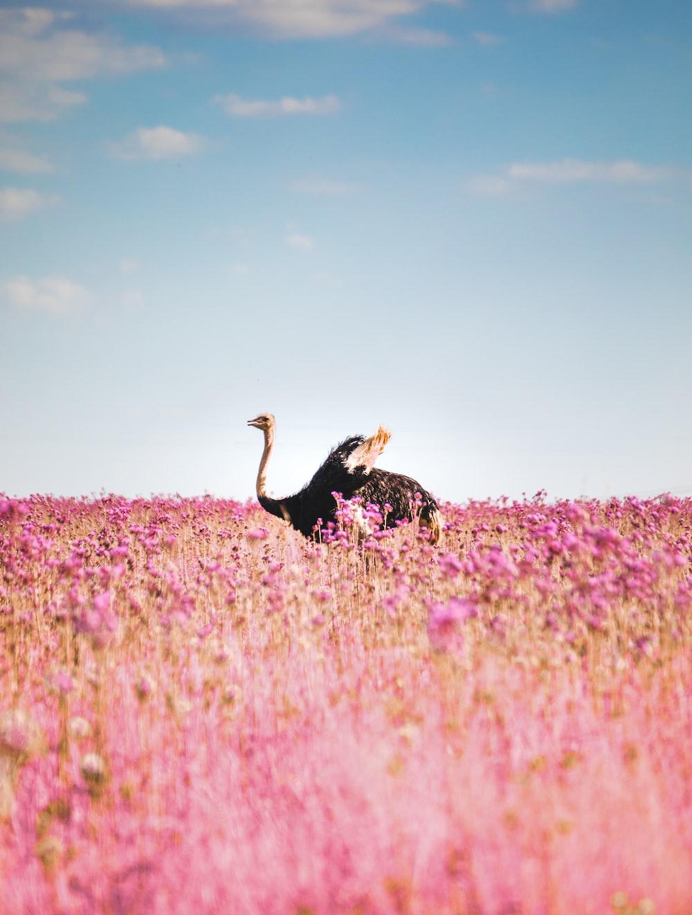 black and white turkey on pink flower field under blue sky during daytime