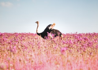 black and white turkey on pink flower field under blue sky during daytime