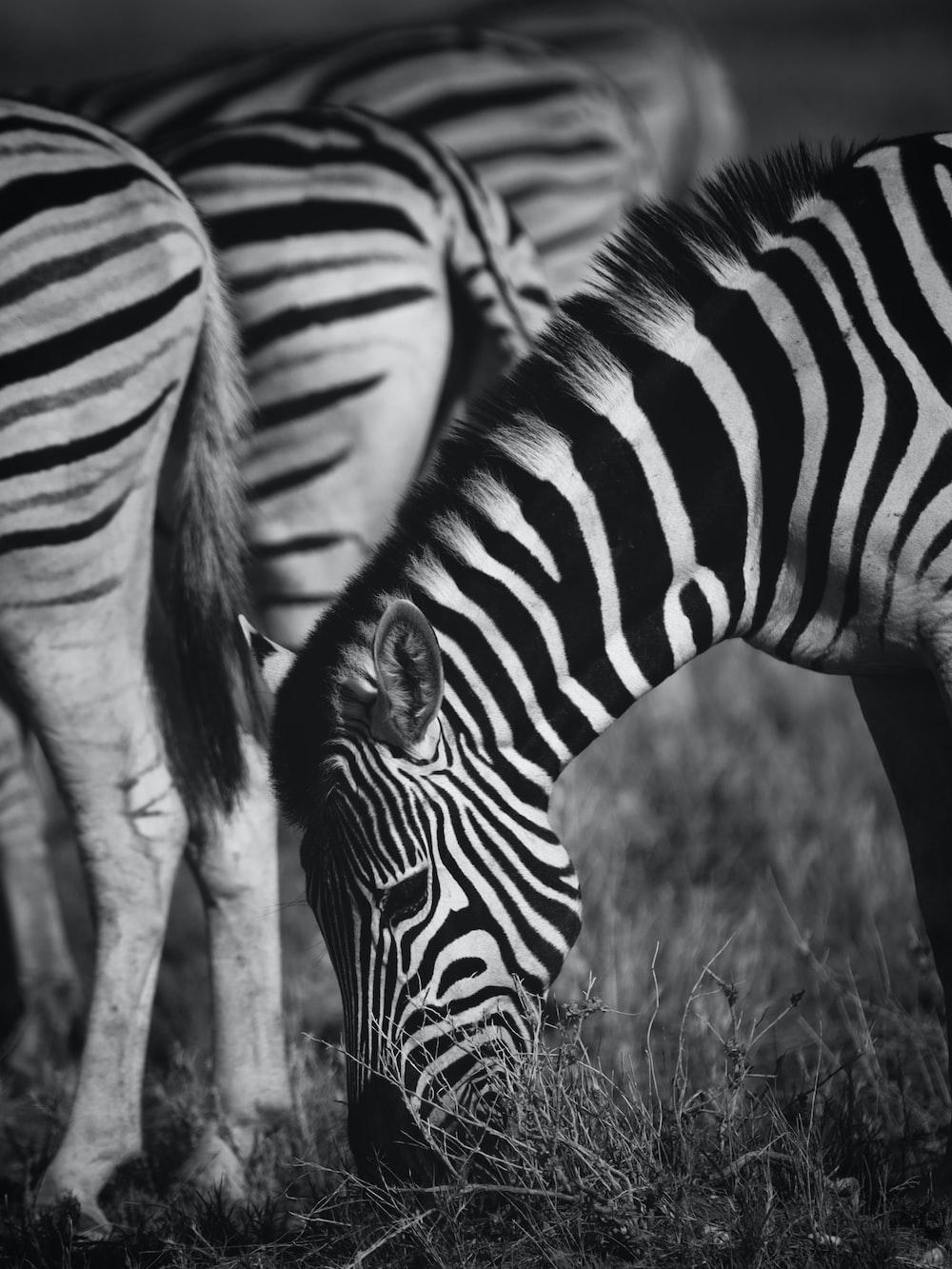zebra standing on brown grass field
