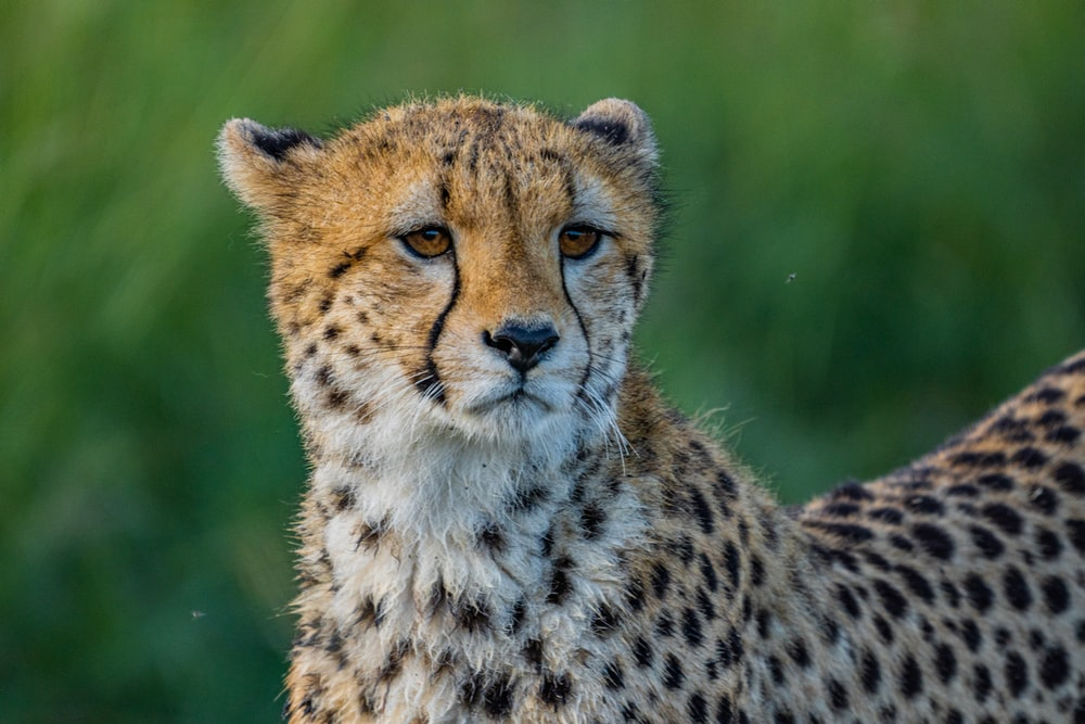 cheetah on green grass field during daytime