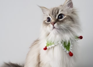 white and brown long fur cat with green and red rose on head
