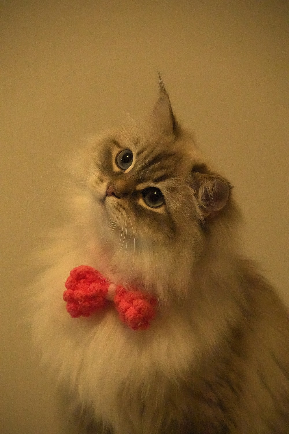 white and gray long fur cat with pink ribbon