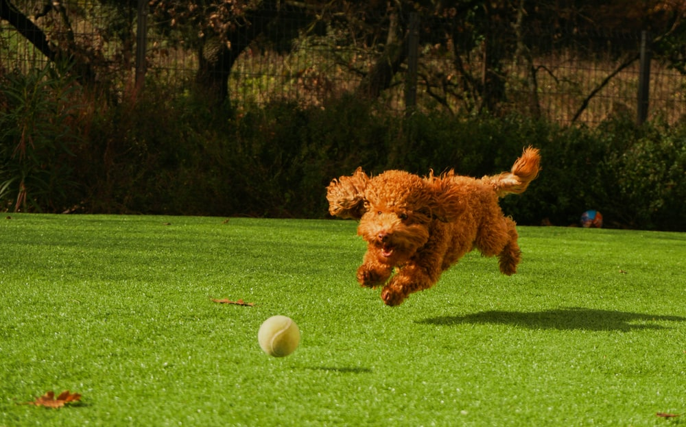 brown curly haired dog on green grass field