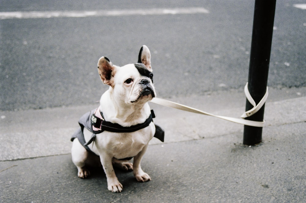 white and brown short coated dog with black harness