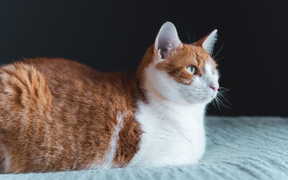 orange and white cat lying on white textile