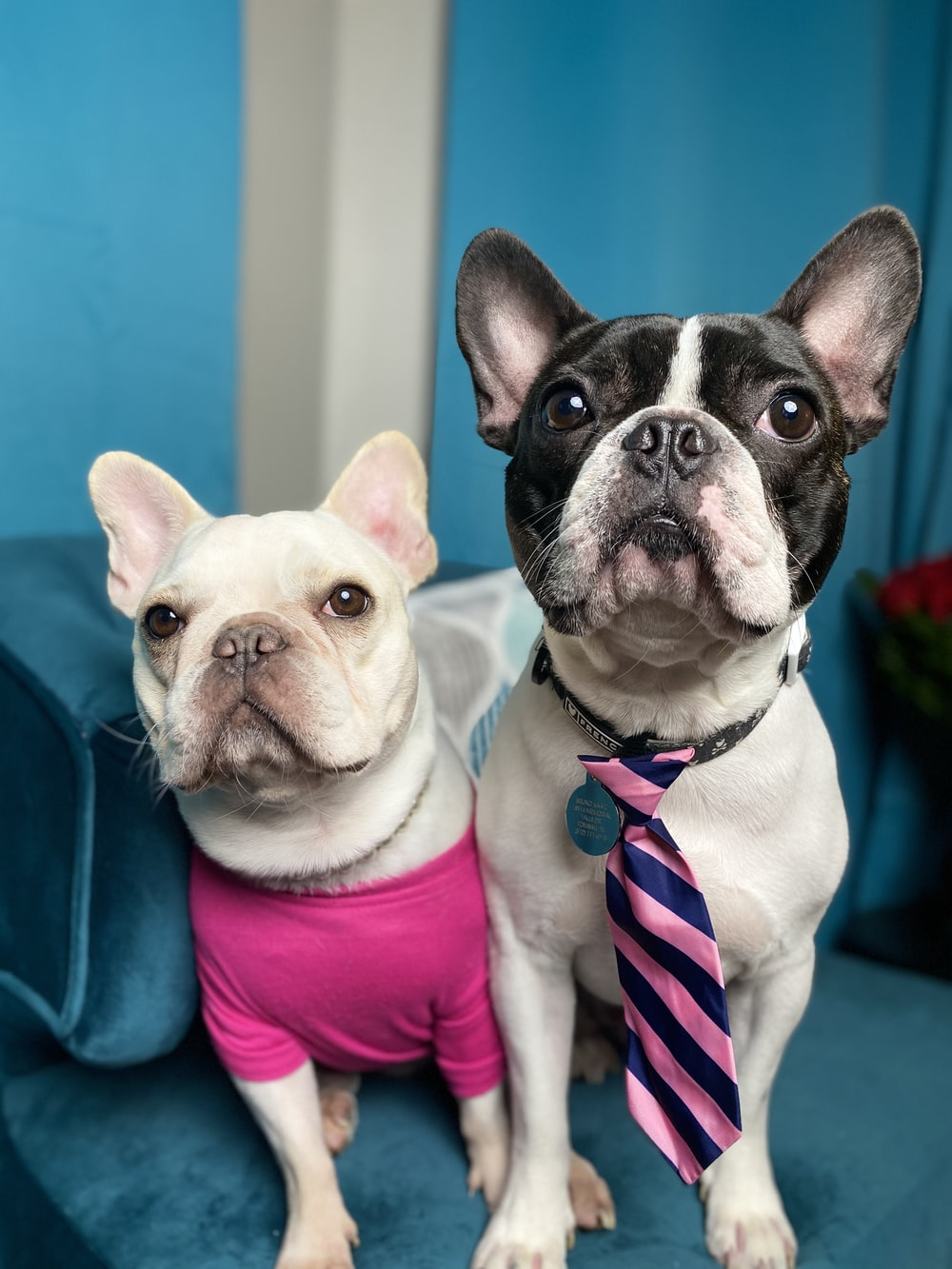 white and black french bulldog wearing pink and white striped shirt