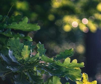 Oak tree leaves in the woods