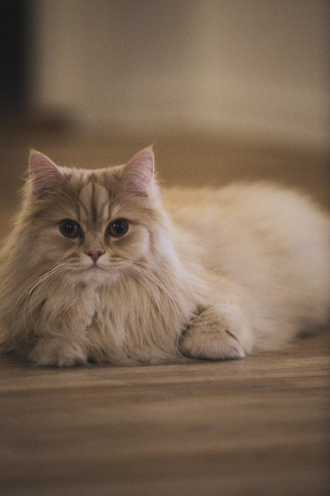 Cute Cat - persian - Norwegian forest cat.