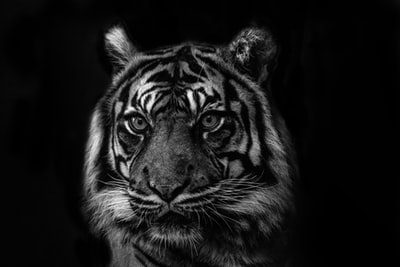 white and black tiger painting