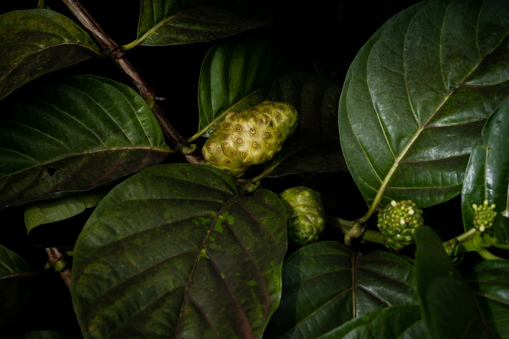green round fruit on green leaves