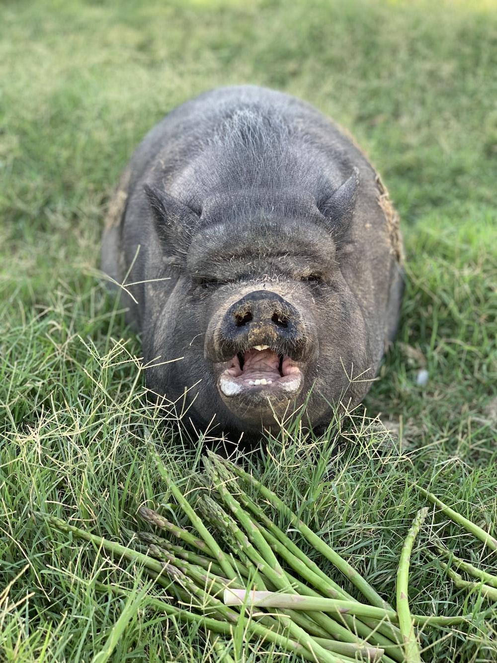 black pig lying on green grass during daytime