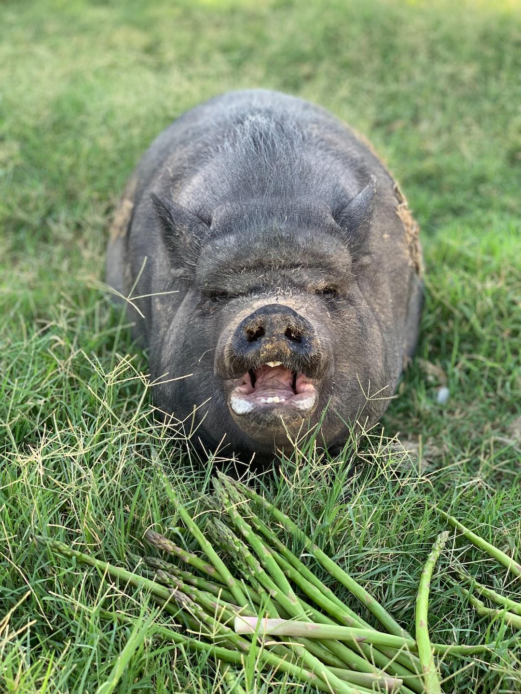 Pot belly pig on a farm that hates asparagus