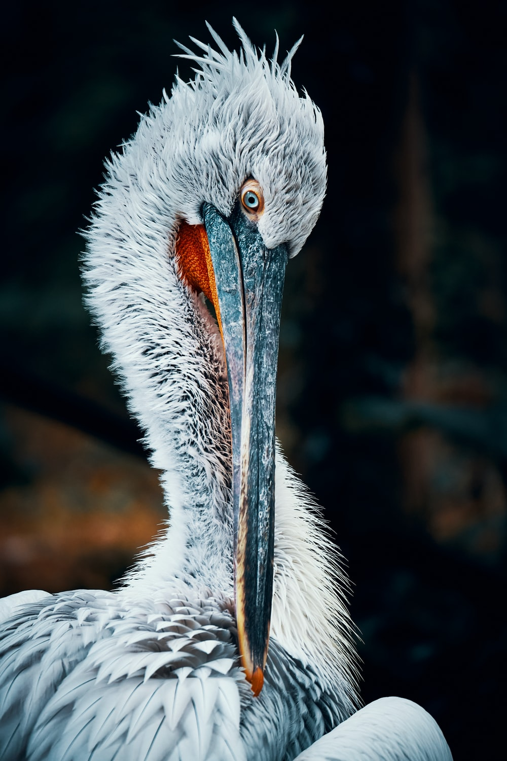 white pelican in close up photography