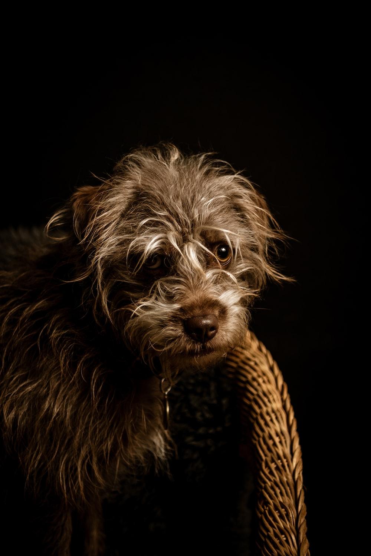 brown and gray long coated small dog wearing yellow and black polka dot shirt