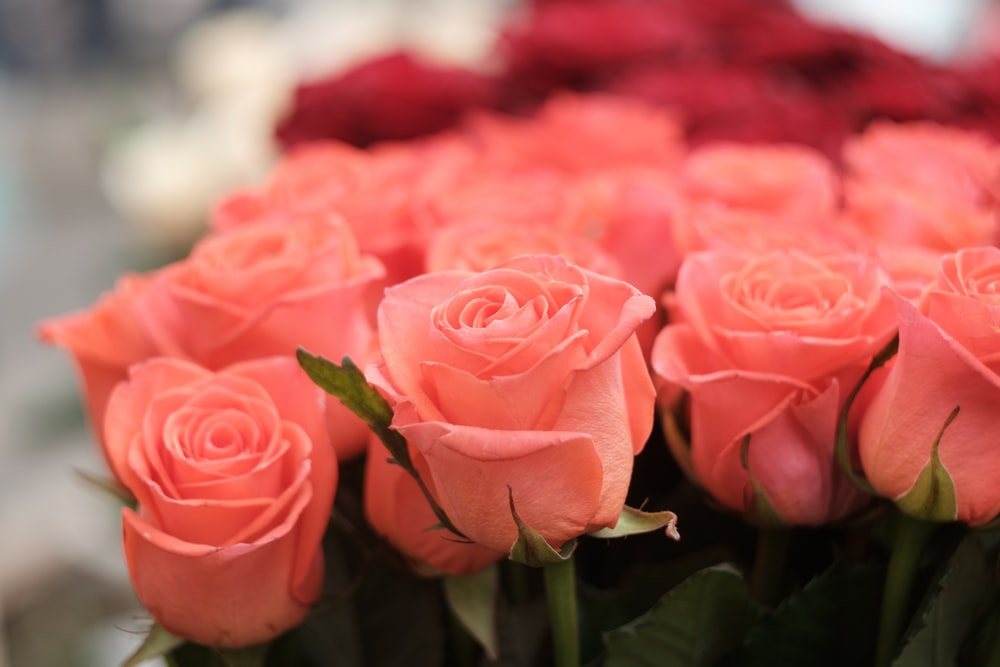 pink roses in close up photography