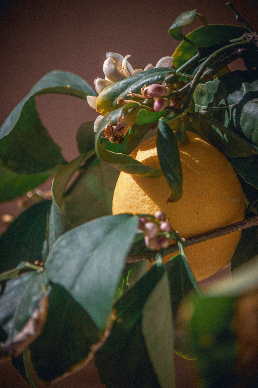yellow lemon fruit with green leaves