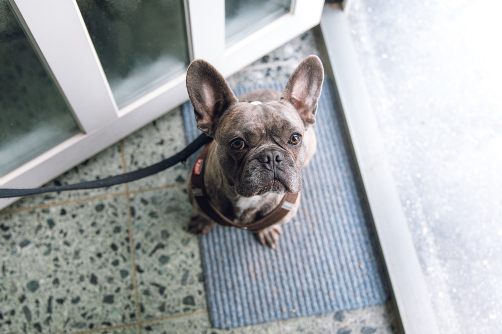 brown and black french bulldog on blue and white striped rug