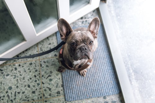 What makes a French Bulldog?