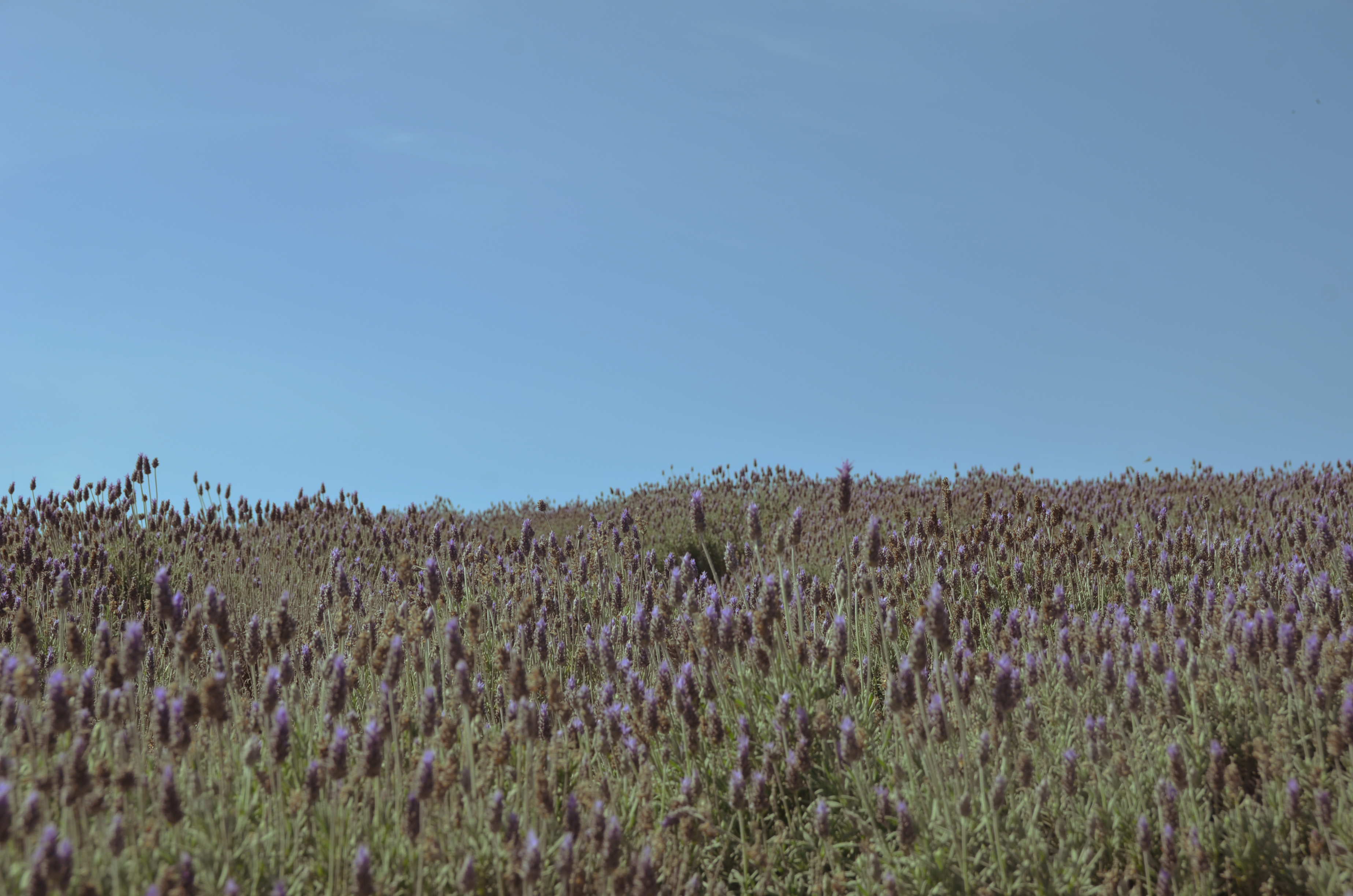 Landscapes of Brazil. Lavender Fields.