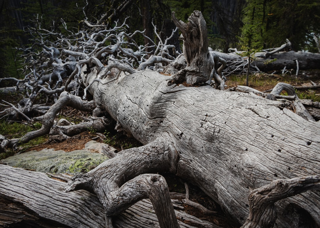 fallen dead tree whitewashed from the sun in the forest