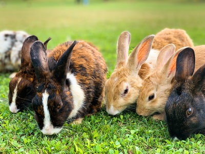 brown and black rabbit on green grass during daytime rabbit teams background