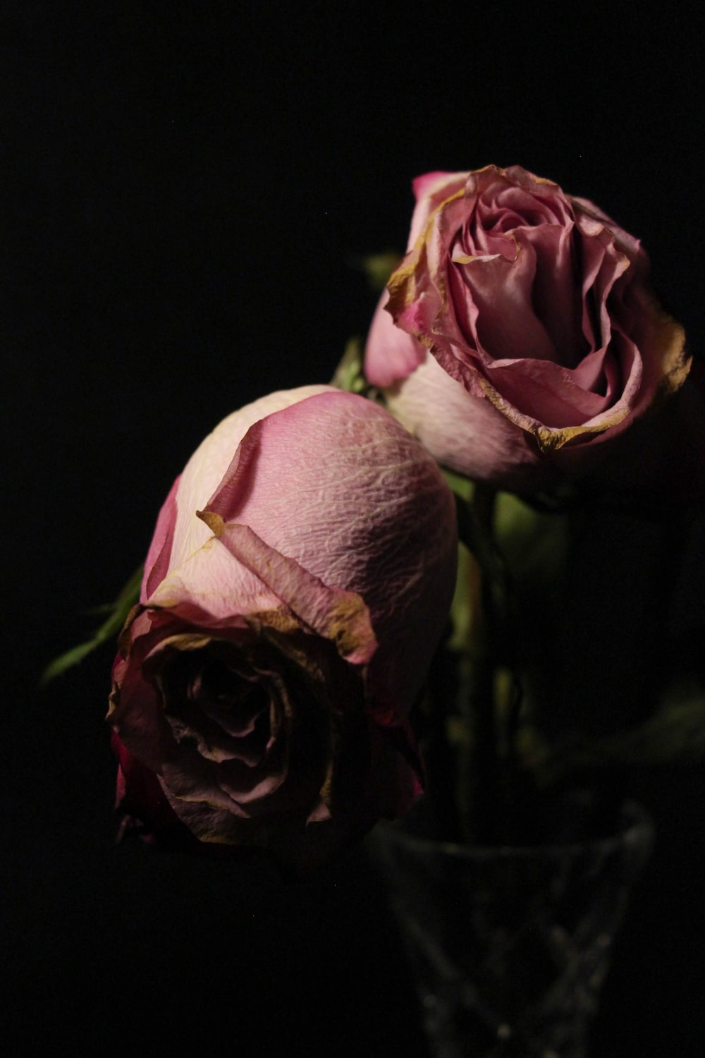 pink roses in black background