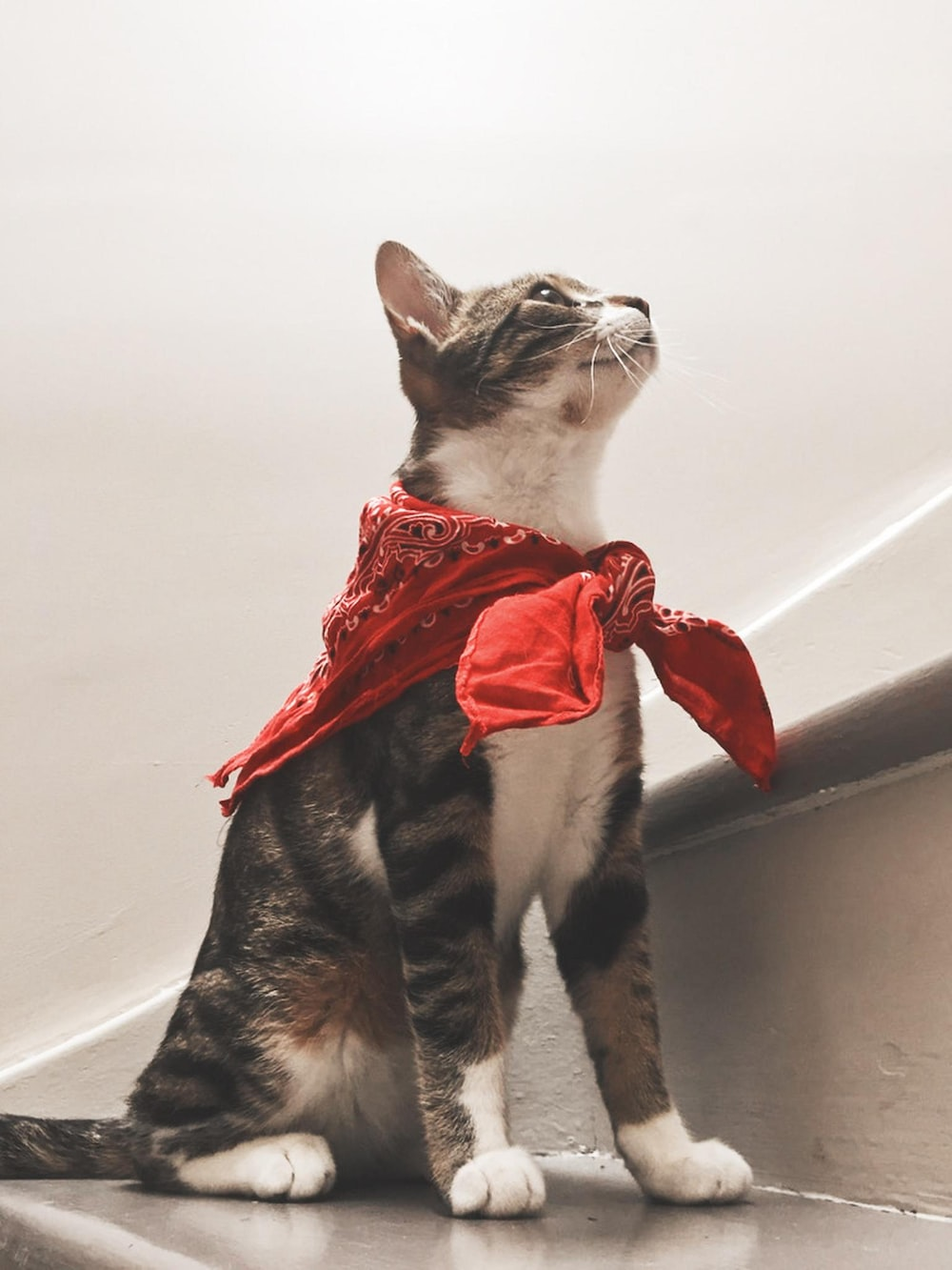white and black cat with red ribbon