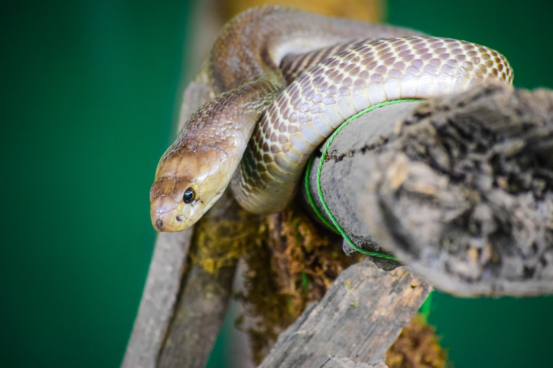 Snakes have internal ears but not external ones.