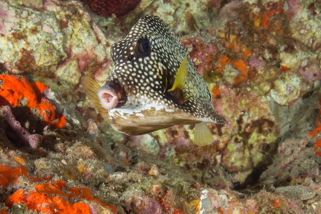A smooth trunkfish.