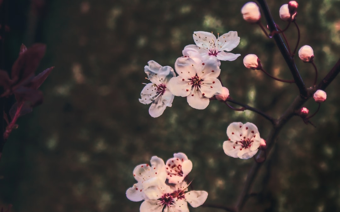 Cherry blossoms on a cold winter's afternoon. Spring is coming!