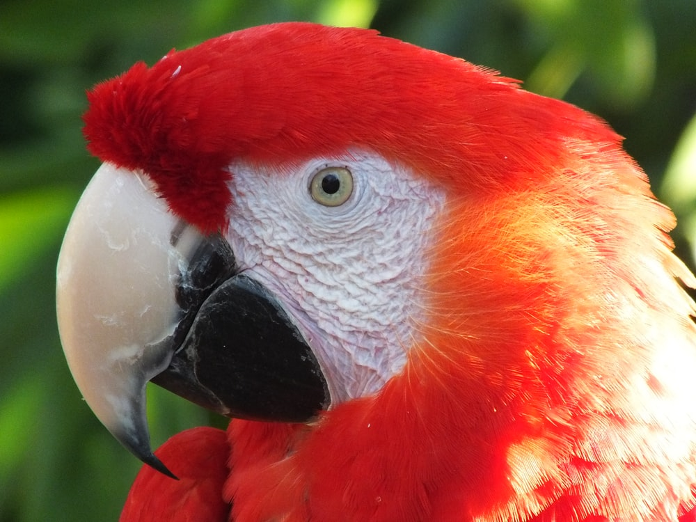 red white and blue parrot