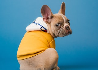 brown short coated dog in orange hoodie
